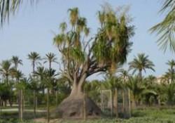 El Zacate o pie de Elefante de Denia (y que está en Elche)