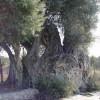 La Olivera Grossa de La Villajoyosa (Alicante)