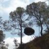 Escobas de brujas de los pinos. Cómo se forman y por qué