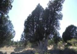 La sabina de Sigueruelo (Segovia)