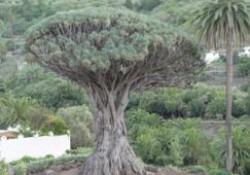 Drago de Icod de los Vinos (Tenerife) (parte 2 de 2)
