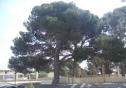 El Pino Manolo de Aigües (Alicante)
