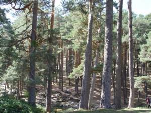 Bosque en la Sierra de Guadarrama