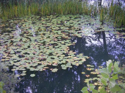 Nenúfares amarillos (Nuphar lufeum subsp. Luteum)