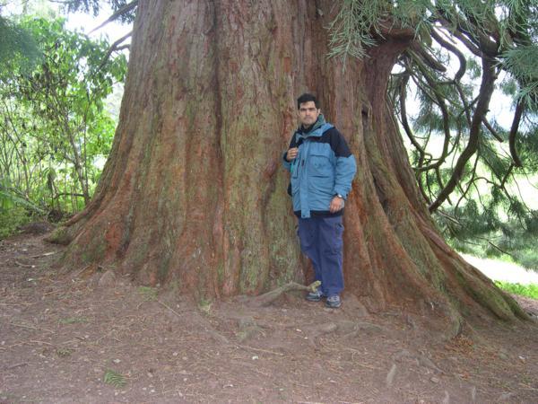 Secuoya gigente en Balmacaan Woods (Lago Ness)_600x450