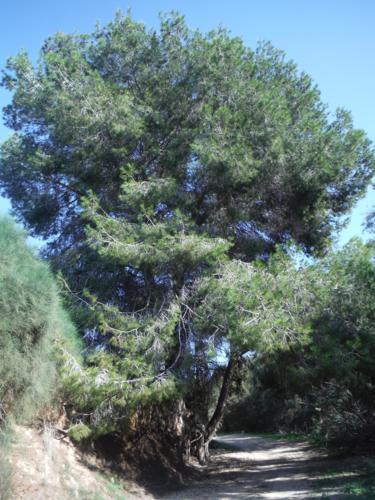 Gran pino tras la zona de juncos_375x500