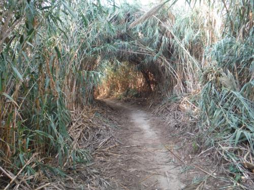 Tunel de juncos en el principio de la ruta (1)_500x375