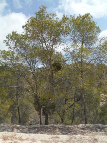 Escoba de brujas en Agost (Alicante)_375x500