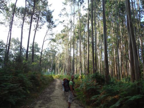 Bosque de eucaliptos antes de llegar al puente de Baxoi. De Pontedeume a Betanzos