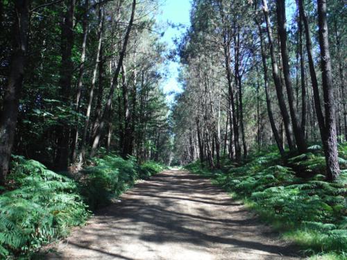 Camino Real en el Concello de Oroso entre arboles. De Hospital de Bruma a Sigüeiro