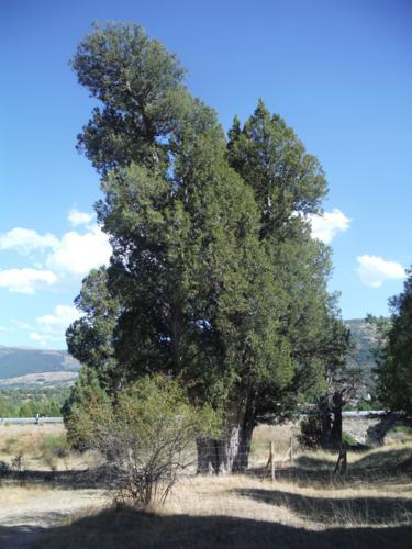 La sabina de Sigueruelo (Segovia). Vista NE_375x500