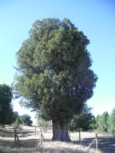 La sabina de Sigueruelo (Segovia). Vista NW_375x500