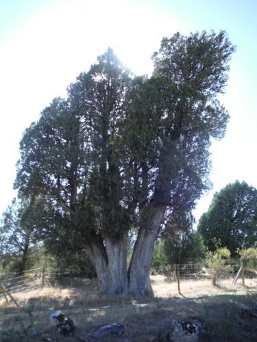 La sabina de Sigueruelo (Segovia). Vista SW_375x500