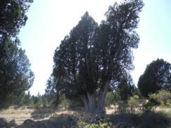 La sabina de Sigueruelo (Segovia)_243x182
