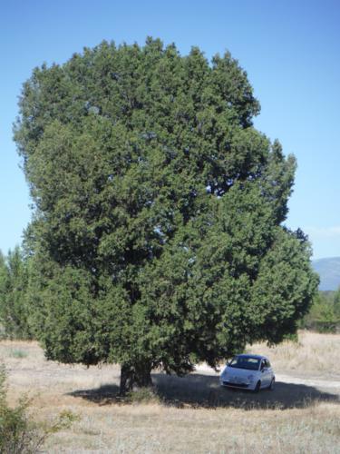 Sábina donde dejar el coche cerca de la sabina de Sigueruelo (Segovia)_375x500