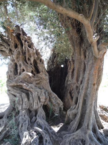 Detalle del tronco de la olivera milenaria (1)_375x500