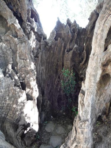 Detalle del tronco de la olivera milenaria (2)_375x500