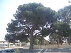 El pino Manolo de Aigües